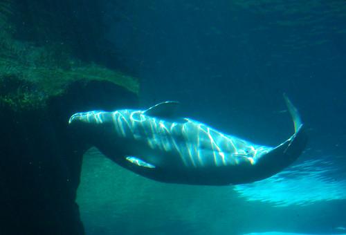 Vancouver Aquarium - Beluga Whales (9)