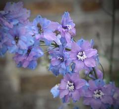 IMG_4102c (Wendy:) Tags: blue kitchen victorian delphinium walledgarden
