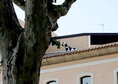 Una vaca en un tejado.