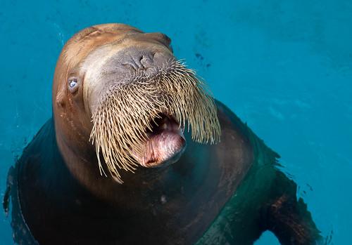 Walrus Attack! - Attaque de Morse!