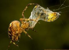 Spider (Thomas Suurland) Tags: macro green closeup insect spider suurland thomassuurland