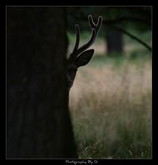 Fusion (Grievous247) Tags: wild tree nature fur stag wildlife reddeer antler naturelovers a700 sonya700 sal70400g