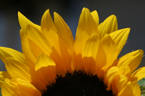 Sunflower/sunrise
