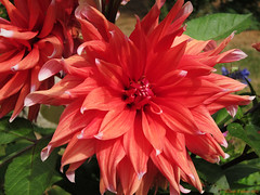 More Big Dahlia (David S Wilson) Tags: flowers england photoshop garden curves ely canons90