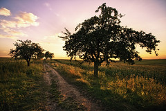 apple trees (Dennis_F) Tags: trees light sunset sky tree apple colors clouds zeiss germany landscape deutschland evening licht path sony natur wide feld himmel wolken fullframe dslr landschaft bume ultra ssm weg farben apfelbaum abendstimmung 1635 uwa weitwinkel ultrawideangle uww a850 163528 sonyalpha sonydslr vollformat zeiss1635 sal1635z cz1635 dslra850 sonya850 sonyalpha850 alpha850 sonycz1635