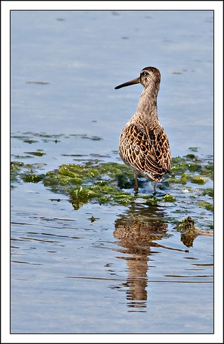 Dowitcher at Witty's Lagoon