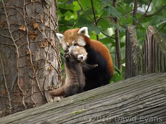 Chester Zoo - Baby Red Panda (Romeoliverpool) Tags: animal zoo chester redpanda spec chesterzoo specanimal babyredpanda redpandacub onephotoweeklycontestwinner babyredpandacub onephotoweeklycontestweek48