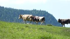 2010_Hromkt_P1030658_idegen (emzepe) Tags: 1 cow dorf village cattle pasture transylvania transilvania grazing 2010 kirnduls trei erdly nyr falu nyri ardeal siebenbrgen rumanien harghita jlius marha cstrtk hargita tehn megye romnia transylvanien legel hromkt tehenek szarvasmarha judeul elseje fntni faluban legelsz hromkton