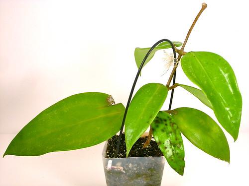 Hoya rigida