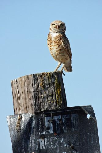burrowing owl dave harper oakley