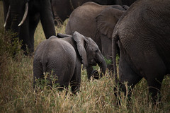 once, there was love (fearfulsymmetry16) Tags: africa park baby elephant love tanzania was safari national there once herd nationalgeographic tarangire