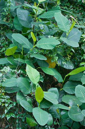 host plant for shield bug Dillenia suffruticosa simpoh air DSC00335 copy