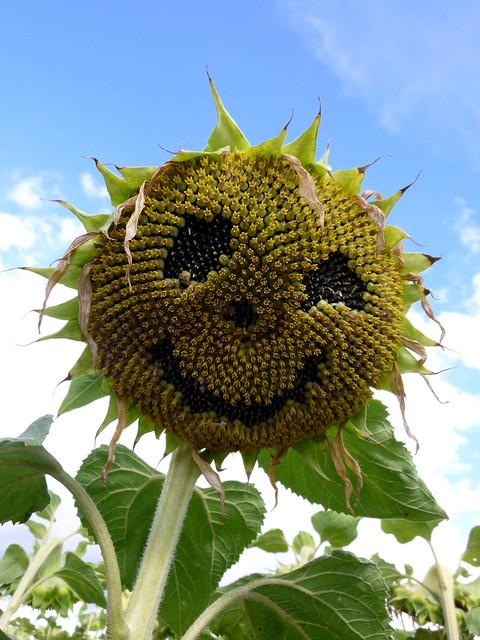 Smiley Sunflowers 向日葵的喜怒哀乐 - 碌碡画报 - 碌碡画报