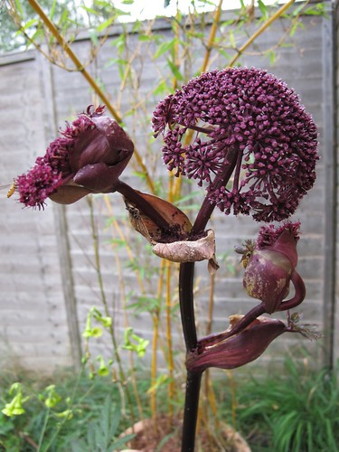 angelica - purple stemmed
