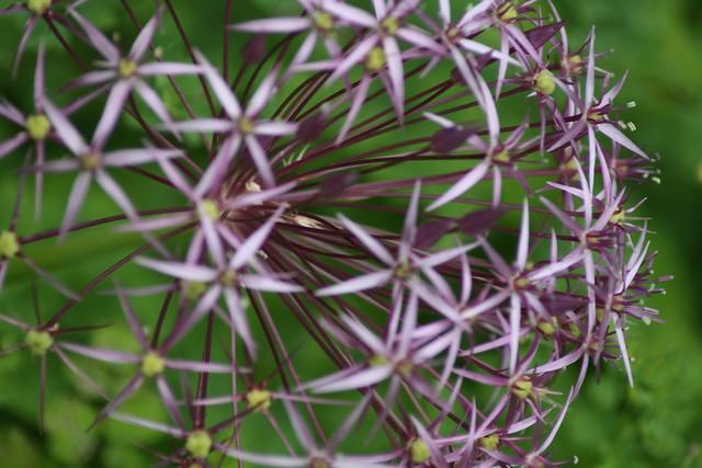 Photo: Allium albopilosum 'Christophii'