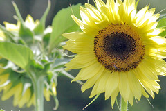 sunflower 038