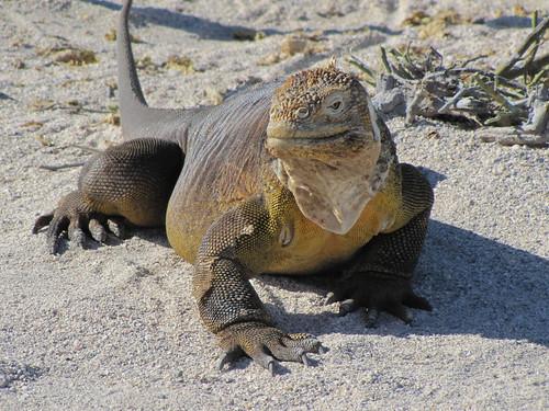 Green Land Iguana - North Seymour Island - Galapagos Islands - Ecuador