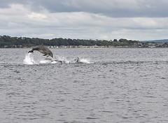 Splashing_edited-red (Lolls Marshall) Tags: scotland rosemarkie blackisle morayfirth bottlenosedolphins chanonrypoint rosemarkiebay