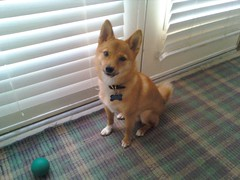 taro the shiba, picture at home