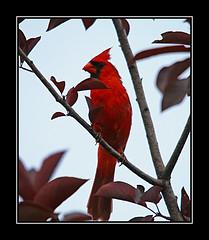 northern cardinal/cardinal rouge (davejv) Tags: birds lasalle cardinals parcdesrapides cardinalsrouge
