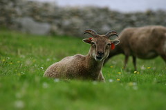 soay on St Kilda
