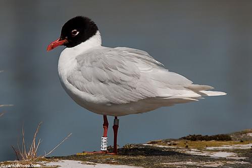 Mediterranean Gull, adult, W[3J84]