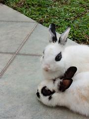 a lazy saturday afternoon (hsalnat) Tags: rabbit nc g9 singapaore alazysaturdayafternoon