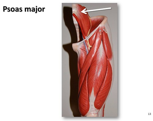 Psoas major - Muscles of the Lower Extremity Anatomy Visual Atlas ...