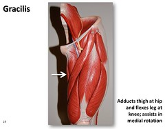 Gracilis - Muscles of the Lower Extremity Anatomy Visual Atlas, page 19