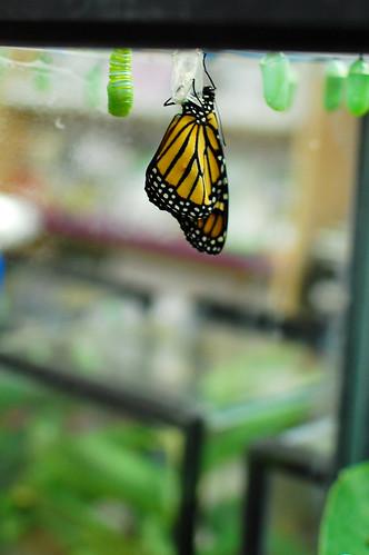 monarch-038