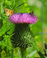 (DJM75) Tags: pink flowers summer plants black green nature yellow skipper insects bugs bee bullthistle northparkvillagenaturecenter