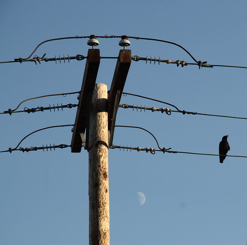 crow rests on electrical line with beak agape on a hot summer evening with utility pole, and moon in background, august 2010, olympia washington