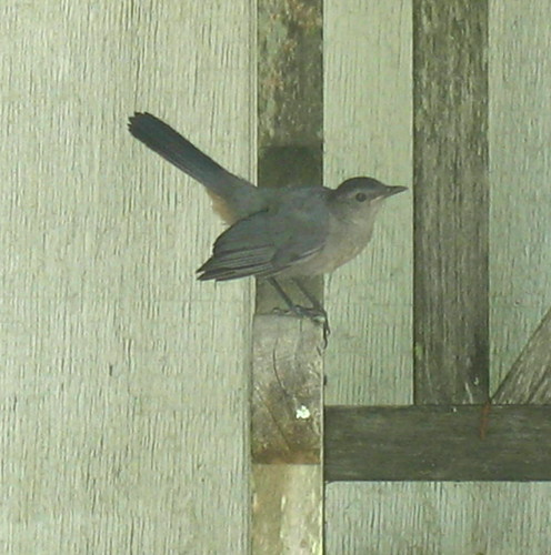 nature note catbird IMG_3093