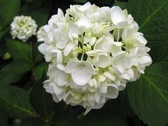 Hydrangea macrophylla white flower 2 jw (Clemson HGIC Photos) Tags: hydrangeamacrophylla bigleafhydrangea mopheadhydrangea frenchhydrangea joeywilliamson©2007hgicclemsonextension
