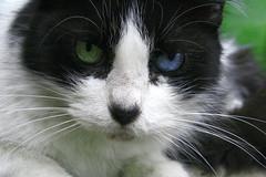 La Reina del palacio de las vacas. (- ma.fda o.c) Tags: blue pet verde green eye animal animals azul cat eyes ojos gato felino mascotas