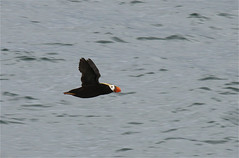 Tufted puffin on the Oregon Coast