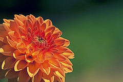 Like Someone In Love (Ganymede: Photography) Tags: madrid dahlia orange flower love field garden happy interestingness interesting nikon dof crossprocess curves joy jardin happiness depthoffield explore botanico botanic bjork bjrk botanicgarden depth dalia jardinbotanico d60 nikond60 pinnata