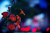 at eventide (moaan) Tags: life leica flower digital 50mm evening twilight flora dof bokeh dusk walk f10 nightlight utata m8 flowering noctilux stroll taillight 2010 trumpetcreeper inlife leicam8 leicanoctilux50mmf10 gettyimagesjapanq1 gettyimagesjapanq2