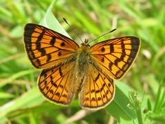 Lycaena rauparaha (Male) (Lepsibu) Tags: newzealand butterfly lepidoptera papillon lycaenidae nouvellezélande boldenaria taxonomy:binomial=lycaenarauparaha