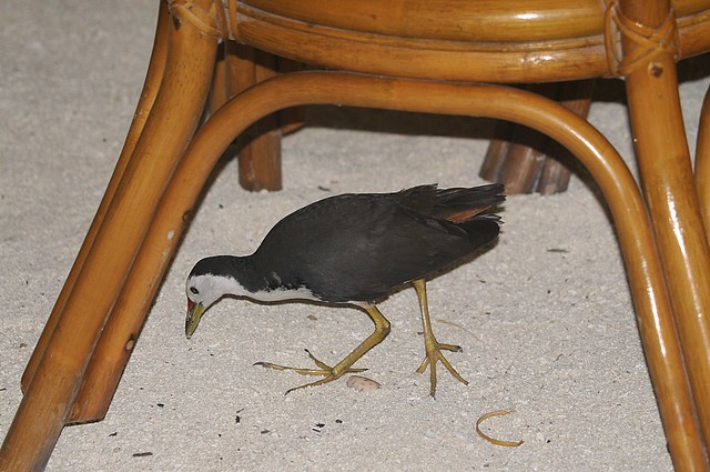 white-breasted waterhen 2