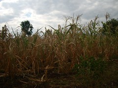 Carbon Covenant - Tanzania: Corn close up
