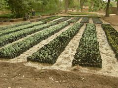 Carbon Covenant - Cameroon: Seedlings-5-2010