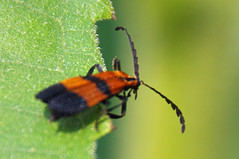 """Reticulated Netwinged Beetle (Bruce Bolin) Tags: bruce insects calopteronreticulatum bolin """"©"""