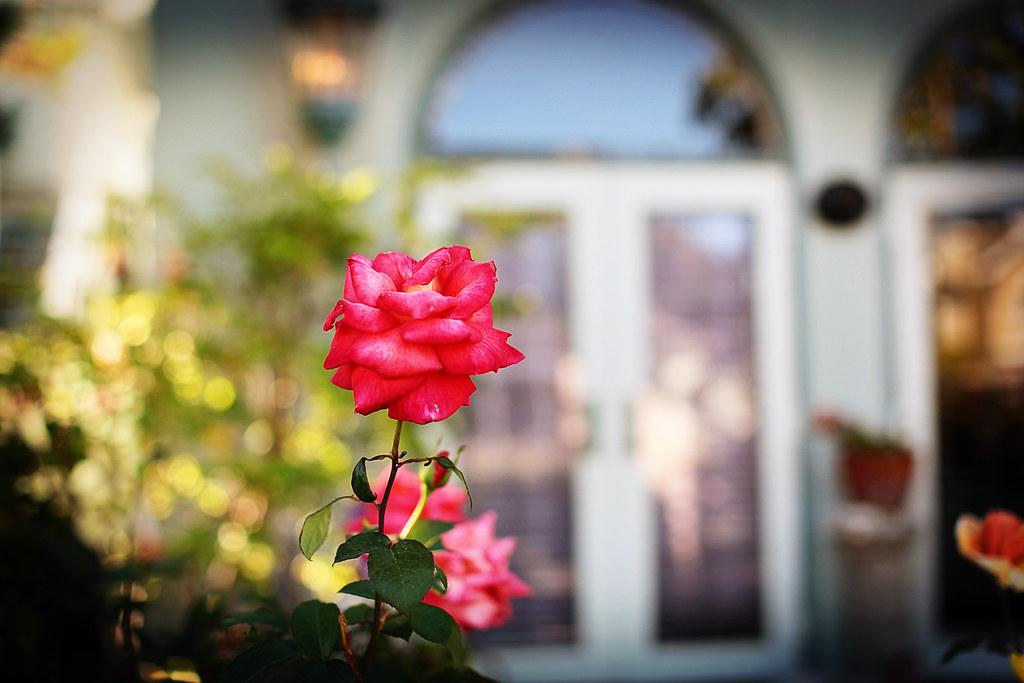 artemis_clover_rose