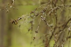 Treebeard (realblades) Tags: tree forest beard north lichen wisp usnea d40 treemoss 100mmf28e