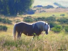 Douceur de Vivre (Domi Rolland ) Tags: france nature cheval europe animaux languedocroussillon aubrac galope lozère mywinners nasbinals top20spring