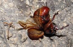 Oryctes nasicornis (Rhinoceros Beetle) (Kamelfisk) Tags: rhinocerosbeetle oryctesnasicornis nsehornsbille