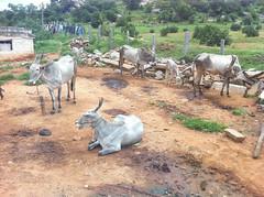 Mascal Cows