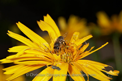 Bee on a Tattered Heliopsis Flower