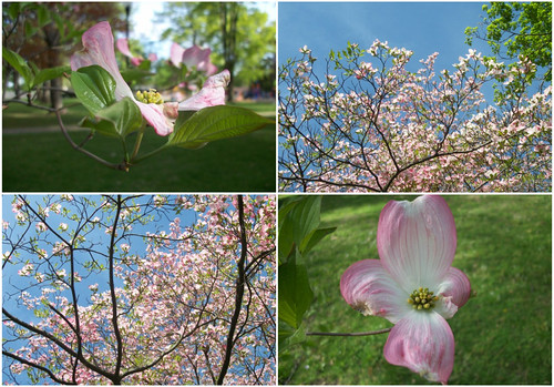 dogwood collage
